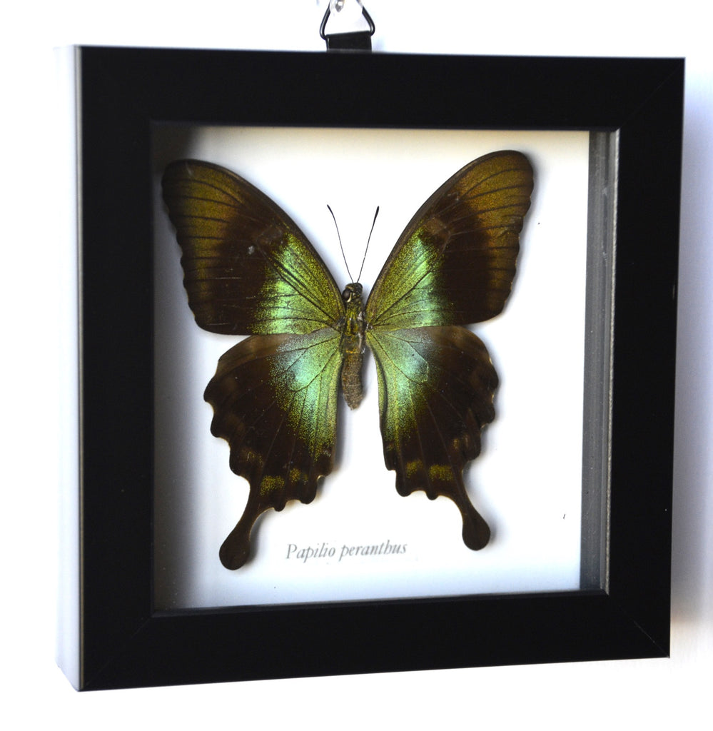 Green and Brown Butterfly in Frame