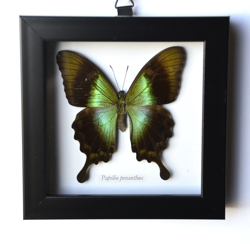 Green Spotted Papilio Peranthus Butterfly in Frame
