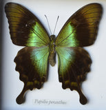 Green Spotted Papilio Peranthus Butterfly