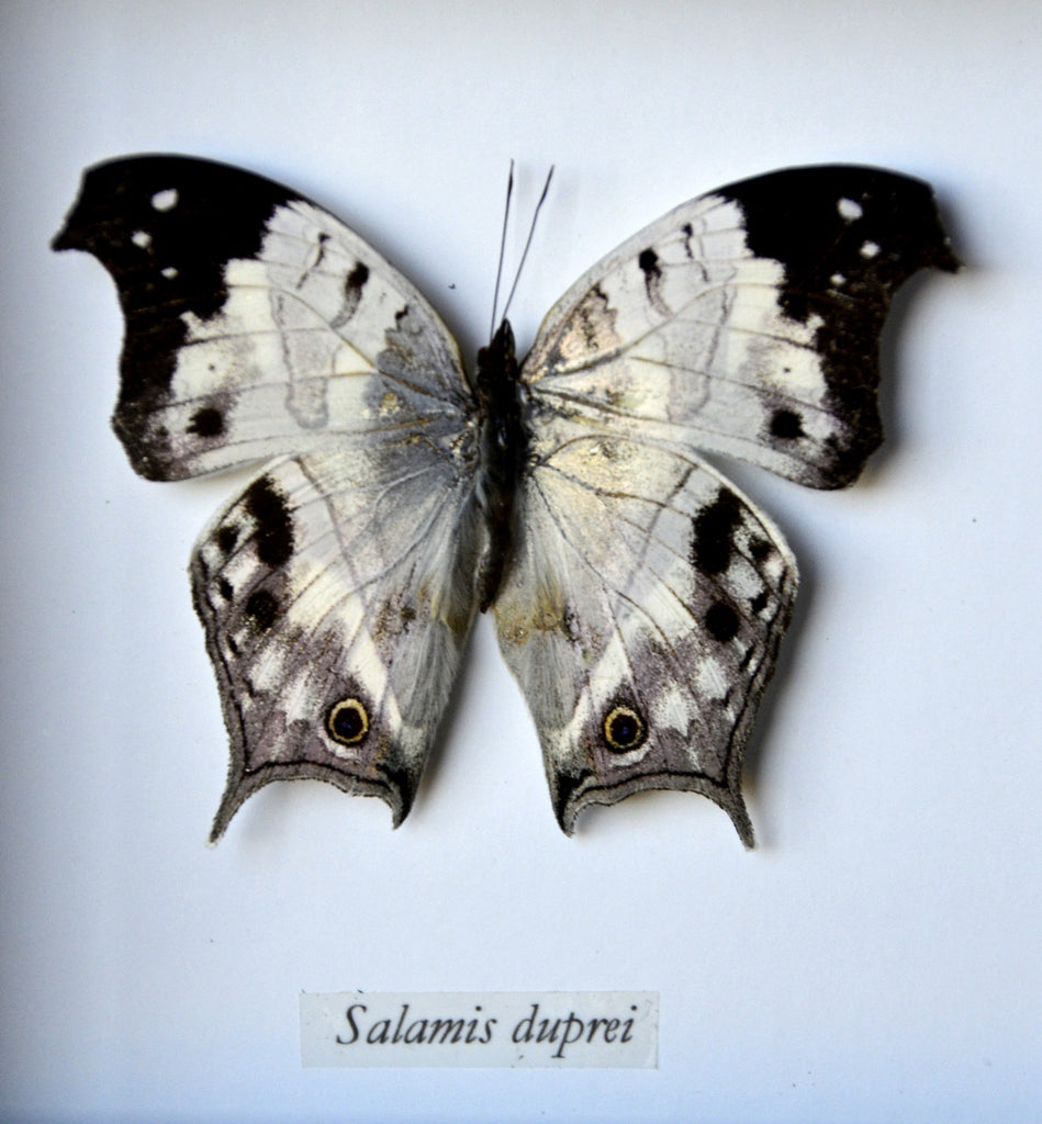 Salamis Duprei Butterfly