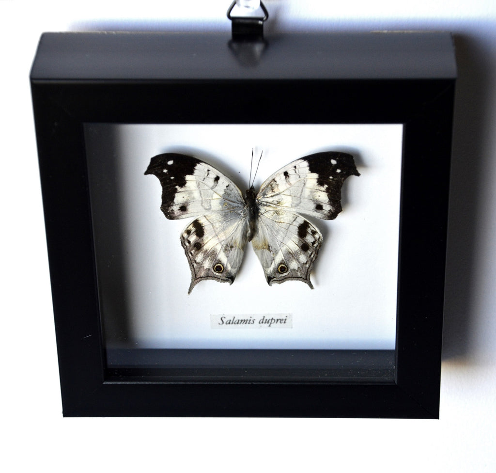 White Salamis Duprei Butterfly in Frame