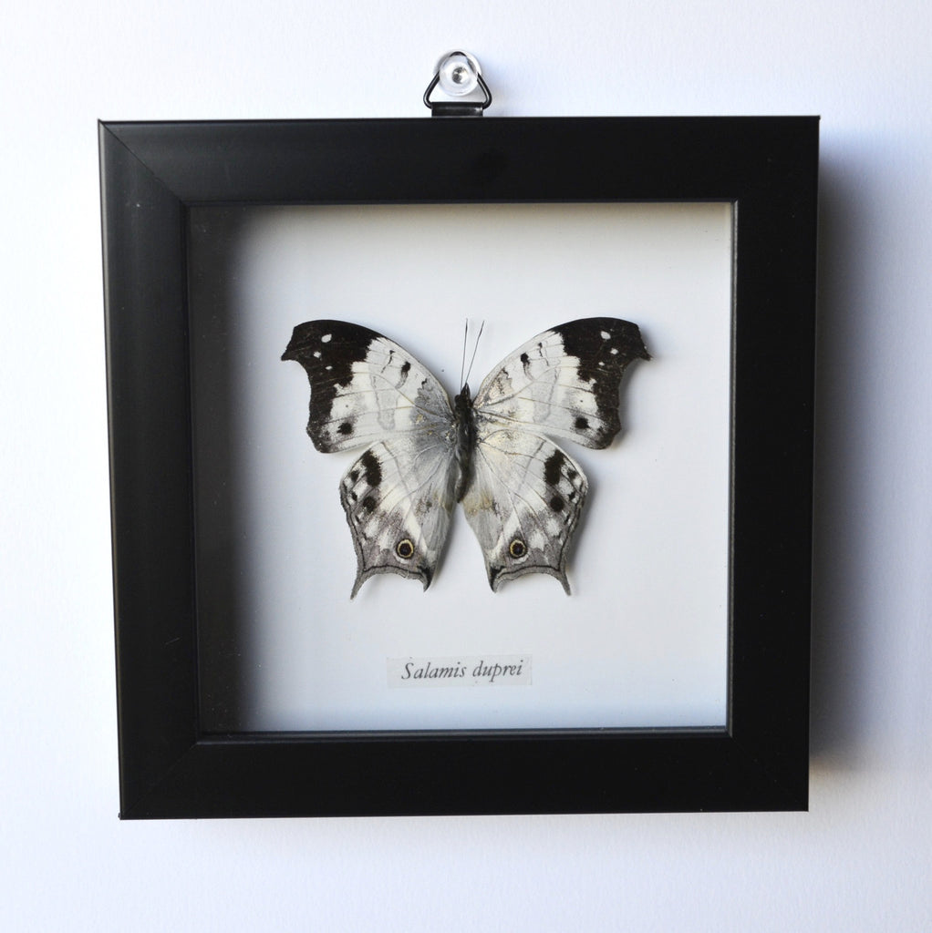 Mother of Pearl Butterfly in Frame