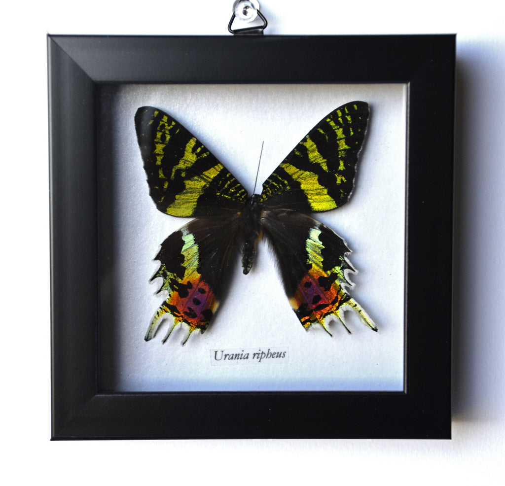 Sunset Moth Framed, at Dakota Nature and Art