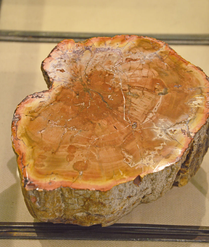 Orange Petrified Wood Slice
