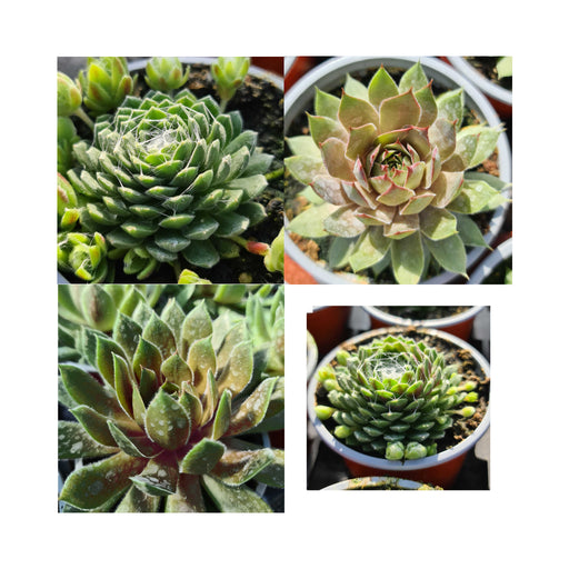 3 Sempervivum Collection,  three different stunning plants in 9cm pots