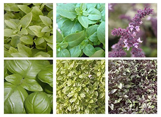 6 Mixed Basil plug plants. Sturdy well rooted Basils. Perfect for the cook and gardener