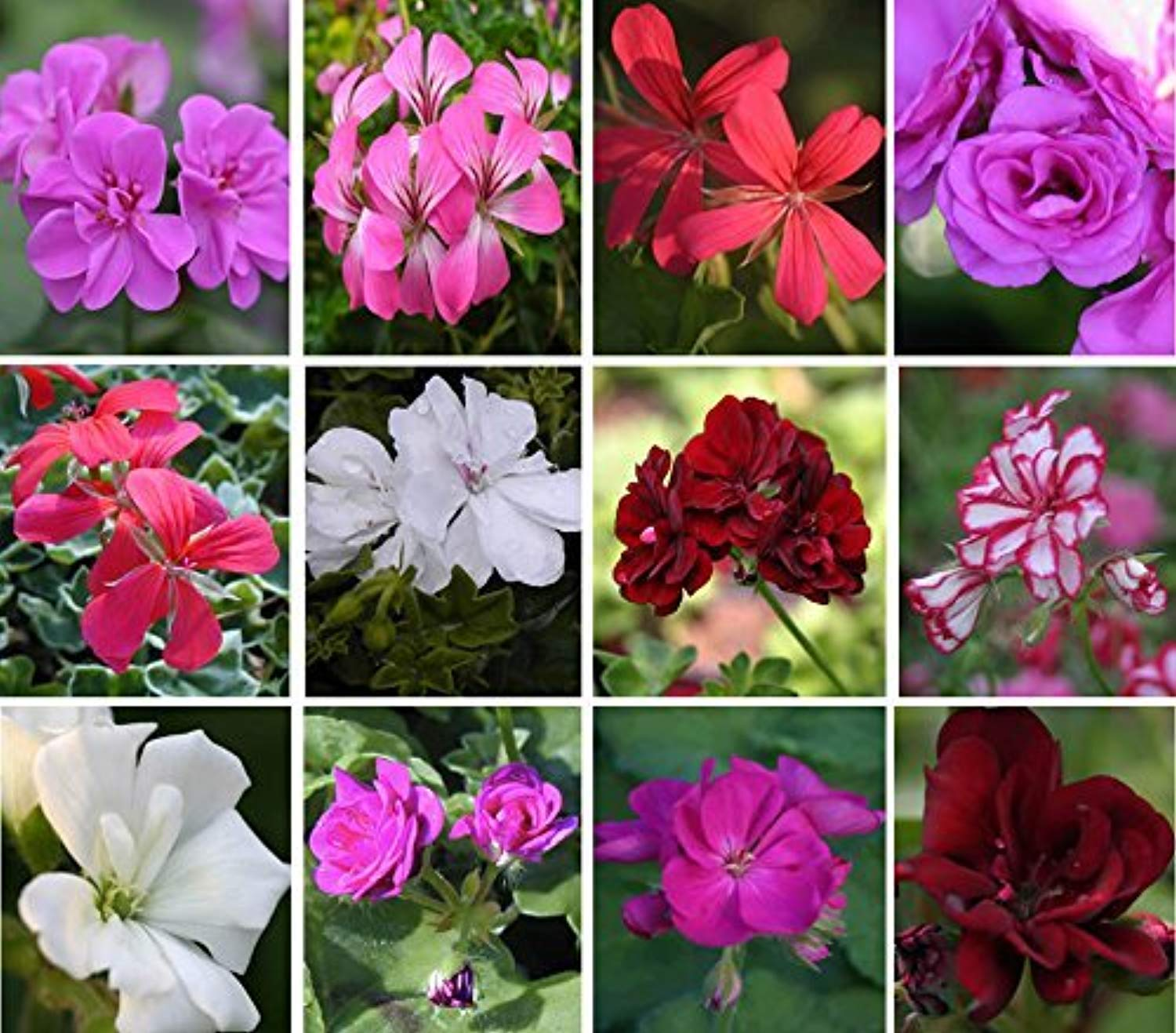 Trailing (ivy) Geranium plug plants 10 mixed plants. Amazing value, well rooted.