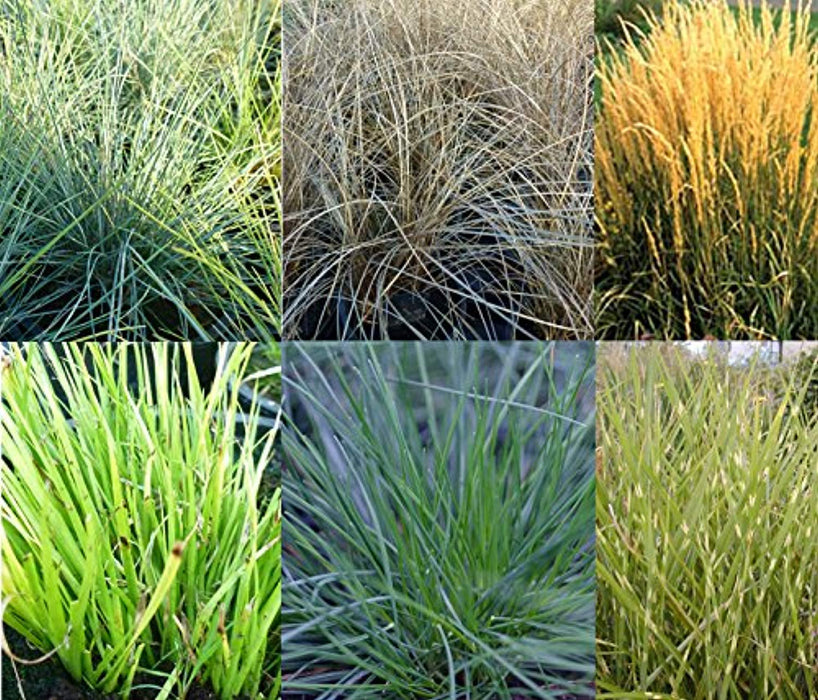 6 Mixed evergreen ornamental grasses. Hardy perennial starter plants