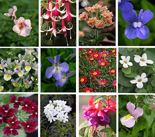 Hanging basket summer collection plug plants, 10 plug plants *Amazing value*