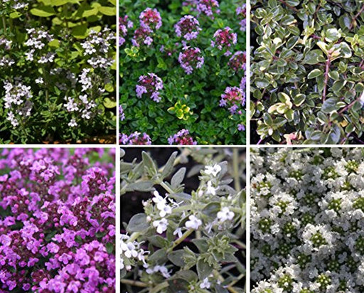 The Connoisseur Collection of 6 Thyme Plug Plants *new pack*