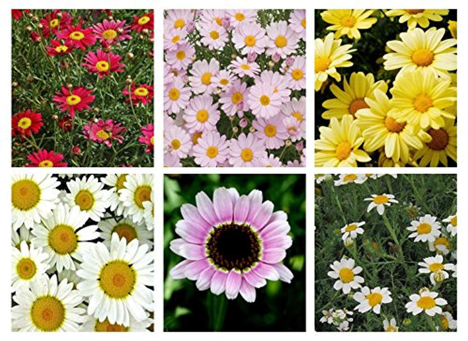 6 x Mixed Argyranthemum plug plants All Varieties Labelled. Perfect for hanging baskets or pots