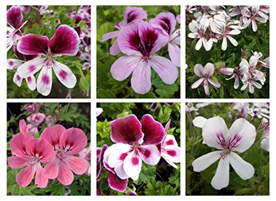 6 Mixed Scented Geranium Plug Plants - Stunning Flowers with Scented Foliage
