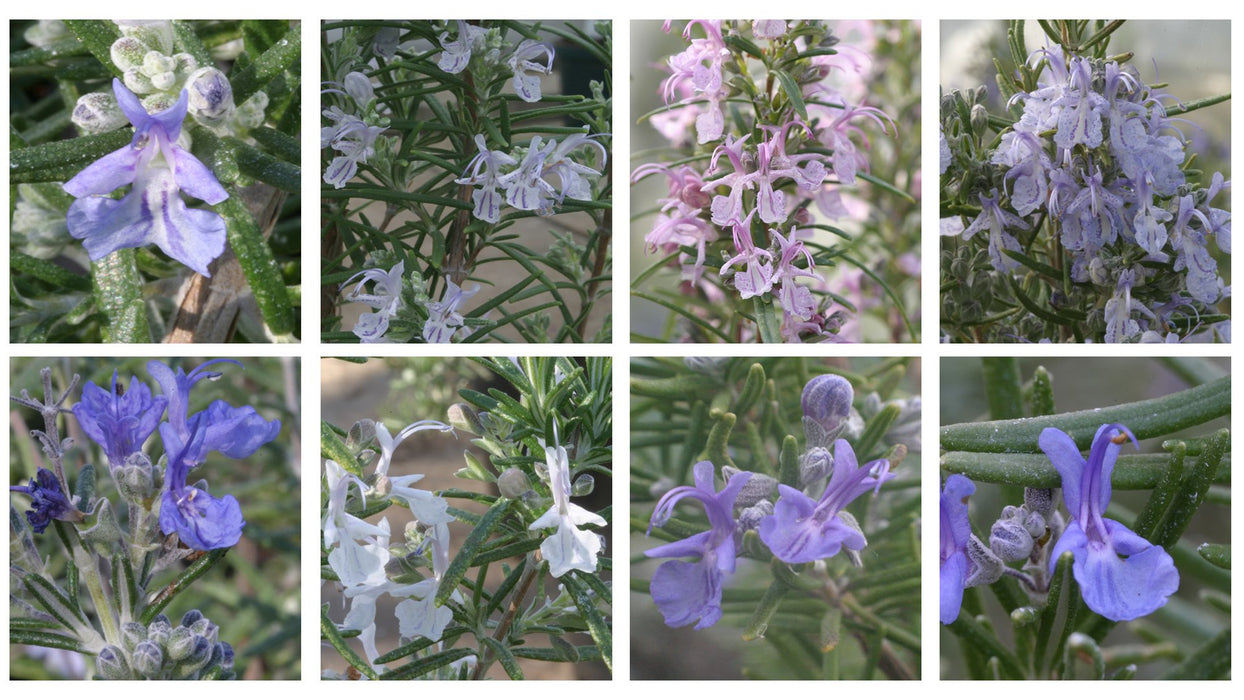 Collection of Rosemary plants