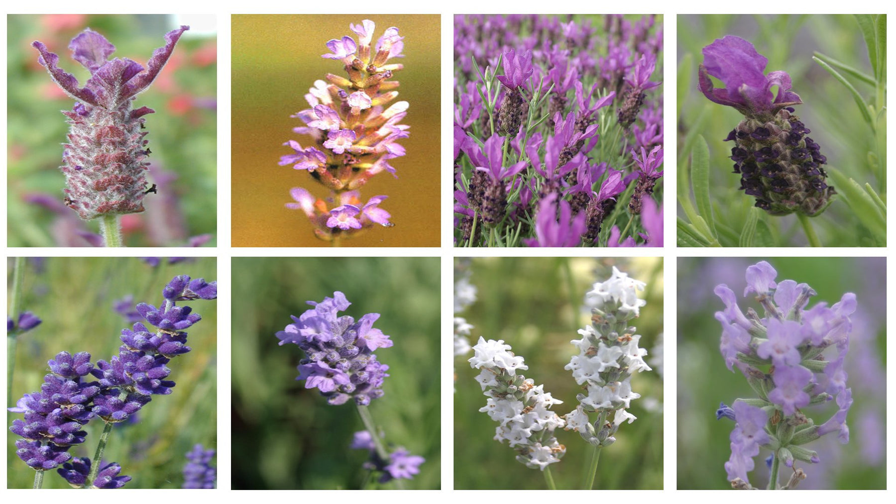 The Connoisseur Collection of 6 Lavender Plug Plants
