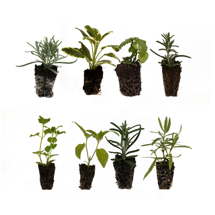 8 Herb Collection of starter plants