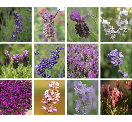 Ultimate Lavender Plug Plant Collection *Wow 12 Different Varieties*