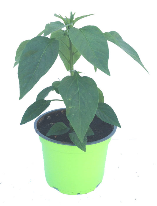 Example of mild chilli plant in 9cm pot