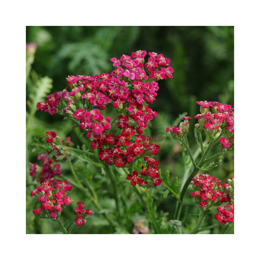 Achillea 'New Vintage Red' perennial plant