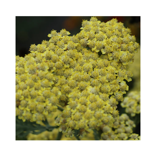 Achillea Sassy Summer Lemon perennial plant in 9cm pot