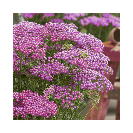 Achillea Sassy Summer Taffy perennial plant in 9cm pot