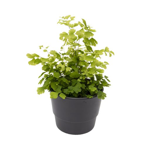 Adiantum, the maidenhair fern in 9cm pot