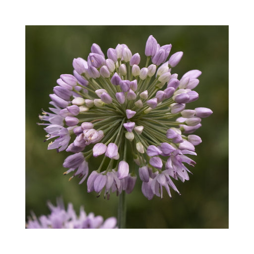 Allium 'Quattro' Established plant in a 1 litre pot