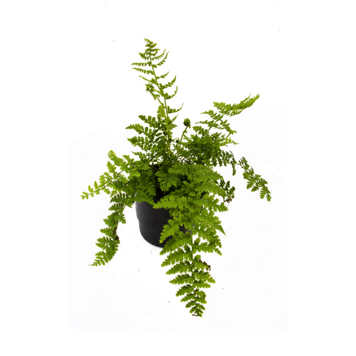 Athryium, the lady fern in 9cm pot