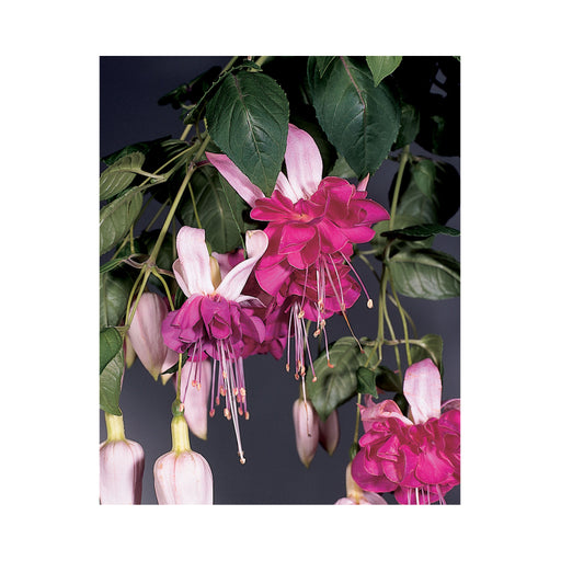 Bush Fuchsia Bella Rosella 3 Plants