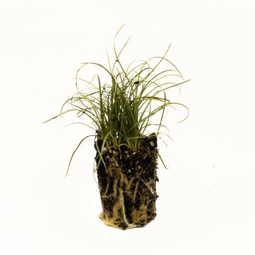 Carex frosted curls starter plant