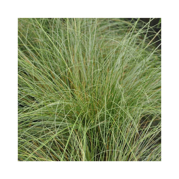 Carex frosted curls plant