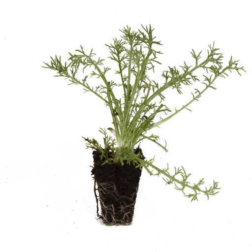 Double Chamomile Herb Plant