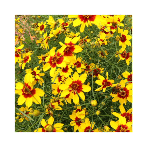 Coreopsis Sizzle and Spice Curry Up perennial in 9cm pot