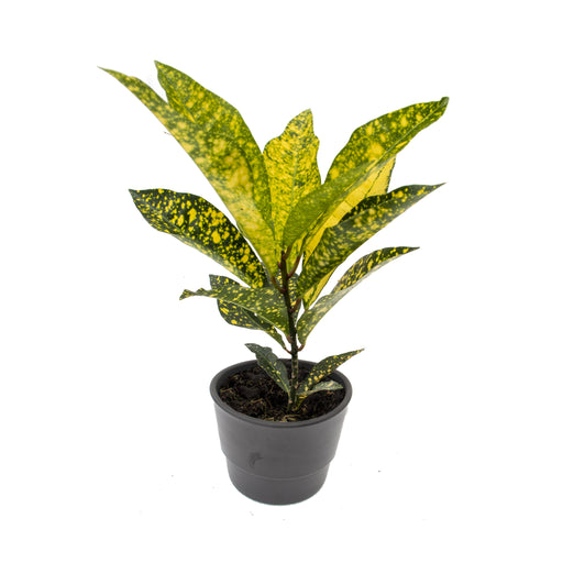 Croton Acubafolia, Joseph's Coat in 9cm pot