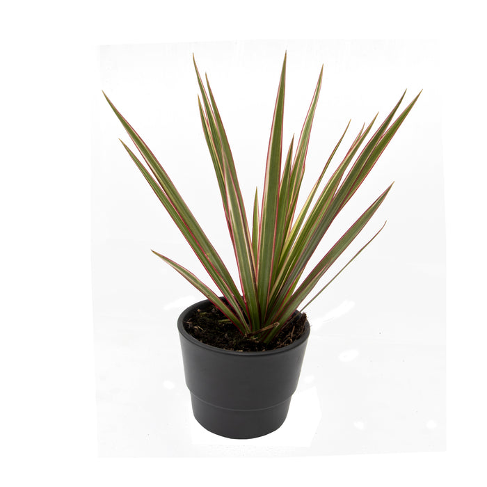 Easy to care for houseplants in 9cm pot