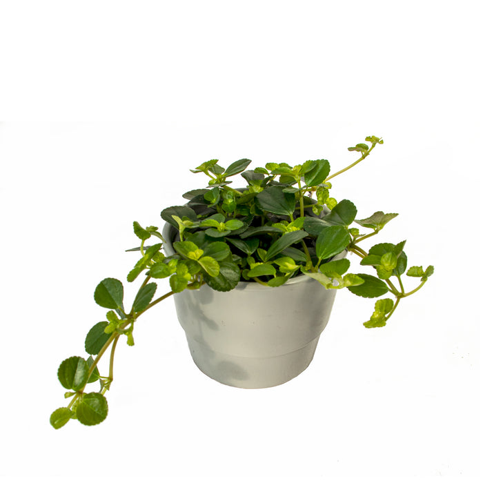 Ficus Pumila Green, the creeping fig in 9cm pot