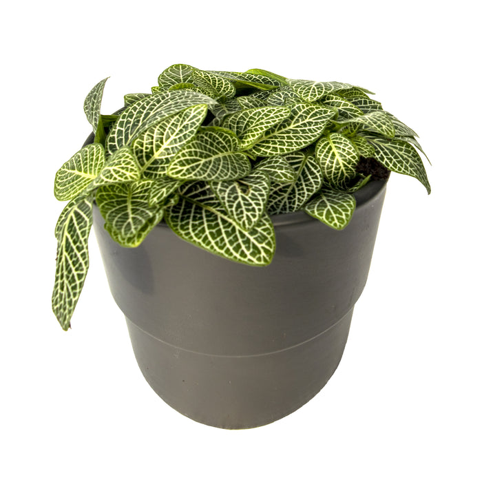 Fittonia Green and White, the nerve plant in 9cm pot
