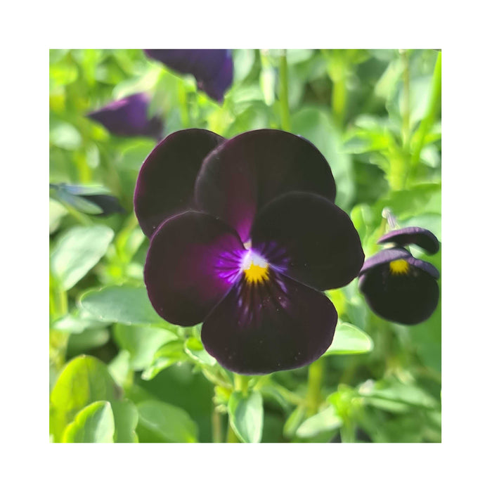 "6 x Trailing Hanging Basket Pansies starter plants ""Freefall Series"" Mixed colours"