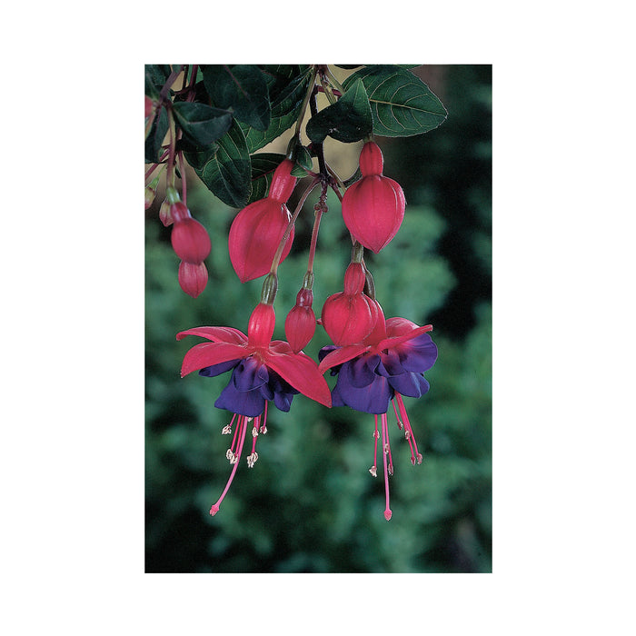 Bush Fuchsia General Monk Red-White 3 Plants
