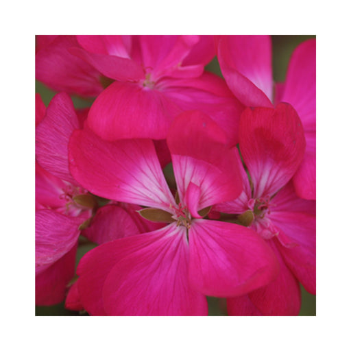 Upright shocking violet geranium