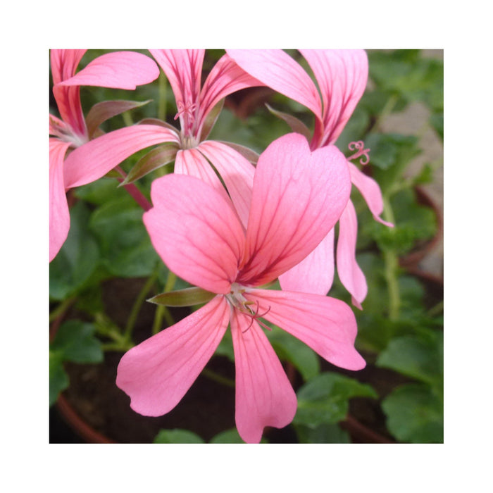 Trailing Geranium Decora Rose