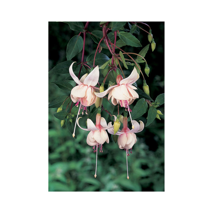 Trailing Fuchsia Harry Gray 3 Plants