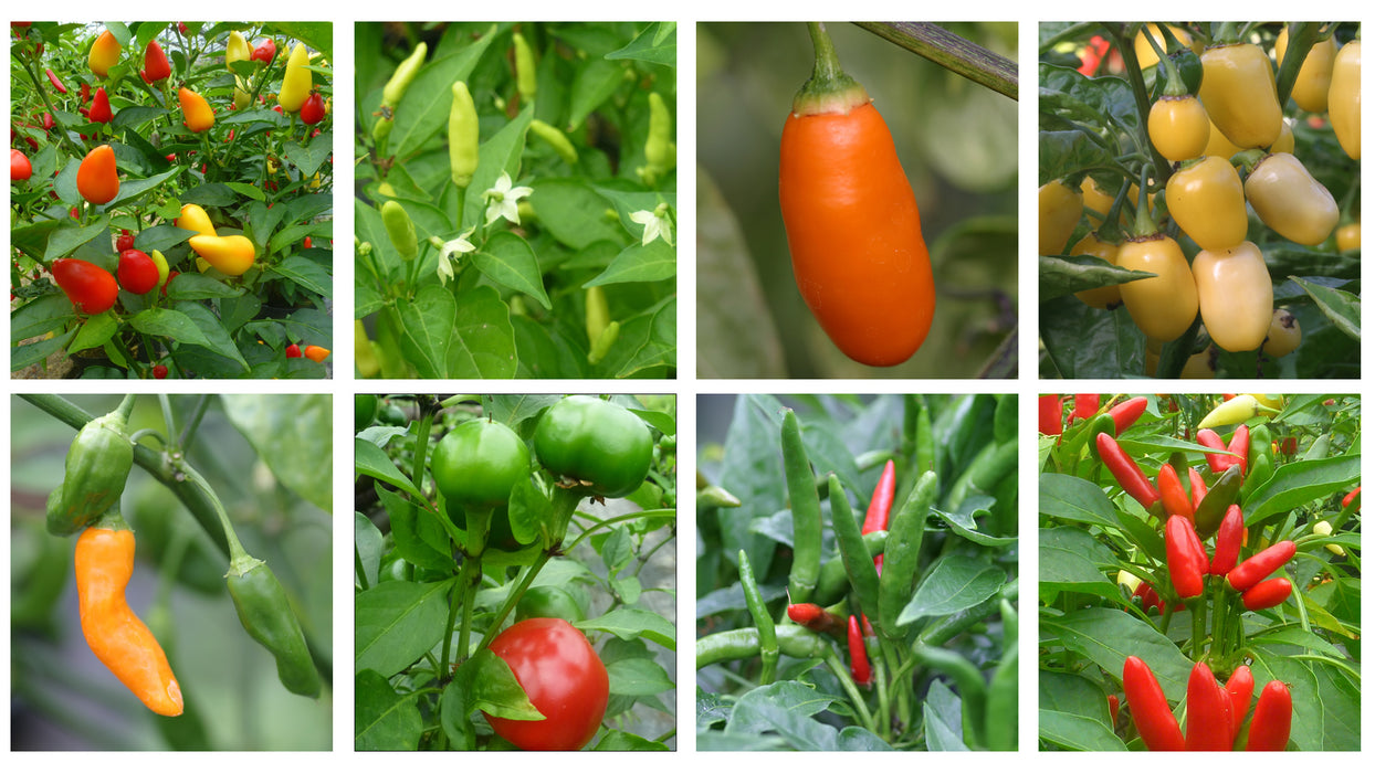 Selection of hot chillies