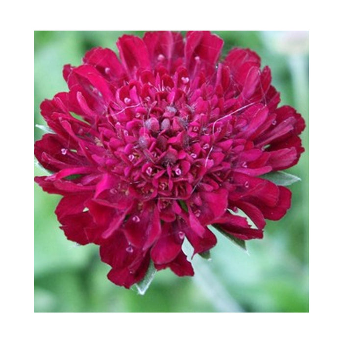 Knautia macedonica 'Red Knight' starter plant
