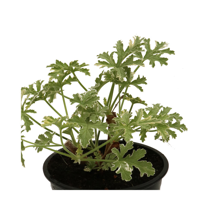 Scented Geranium Lady Plymouth Herb Plant