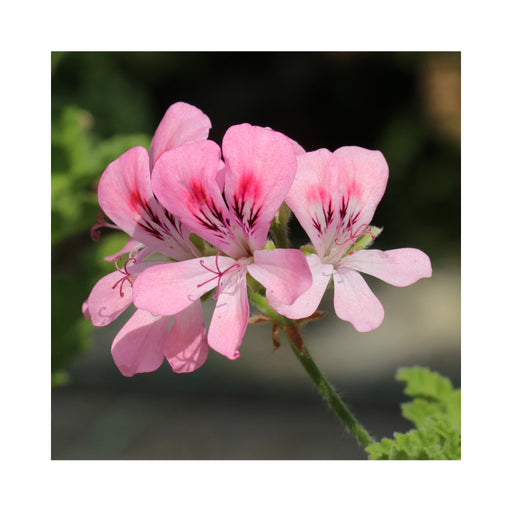 Scented Geranium Lara Candy Dancer Herb Plant