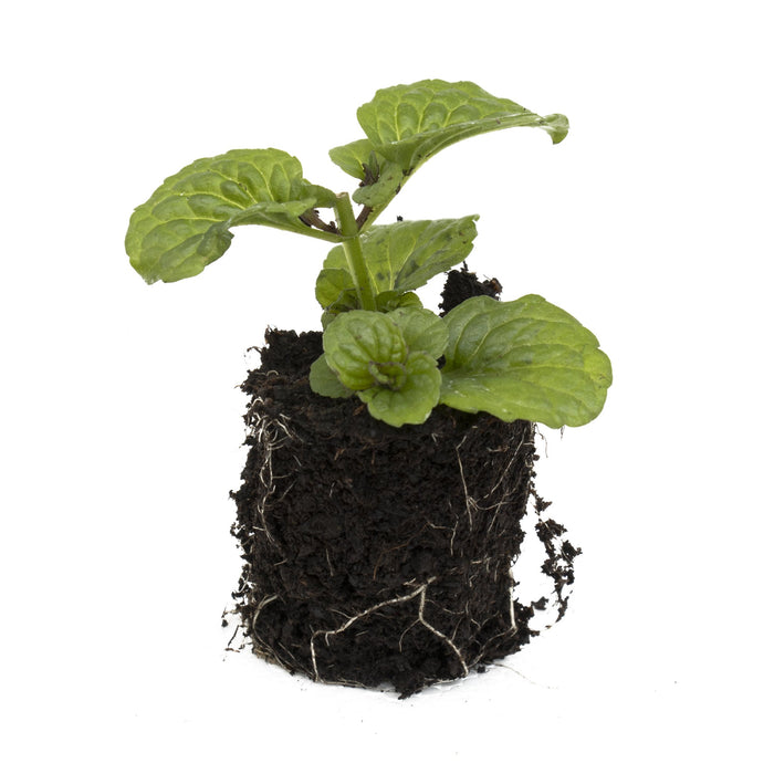 Curly Mint Herb Plant