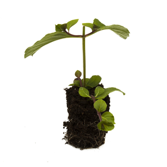 Ginger Mint Herb Plant