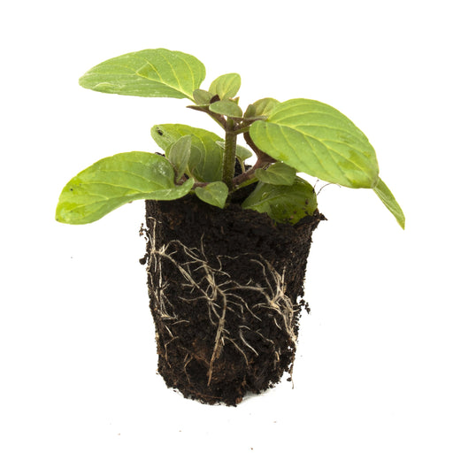 Hilarys Sweet Lemon Mint Herb Plant