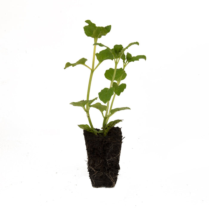 Moroccan Mint Herb Plant