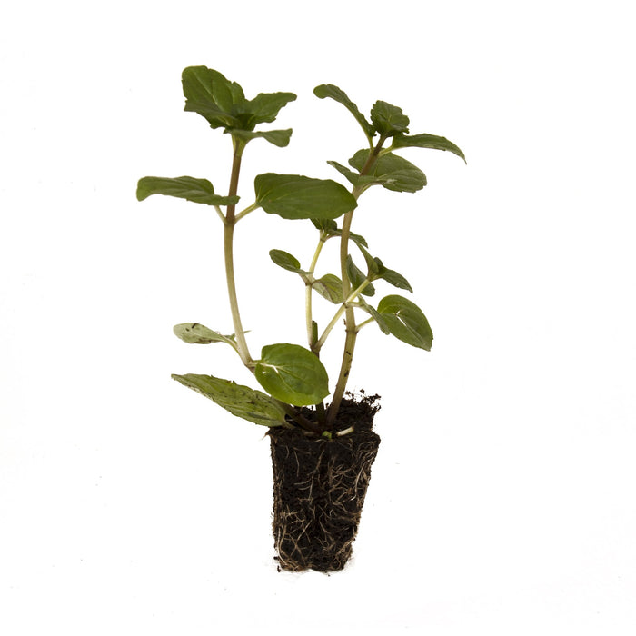 After Eight Mint Herb Plant